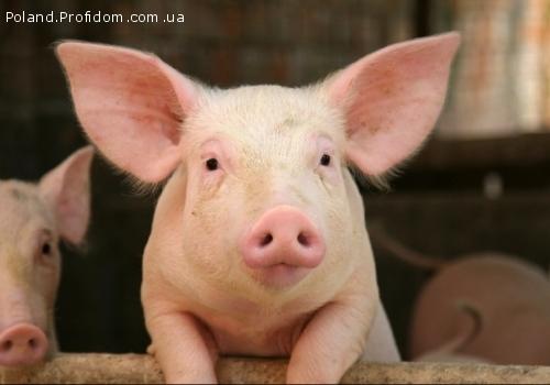 Працівник свиноферми